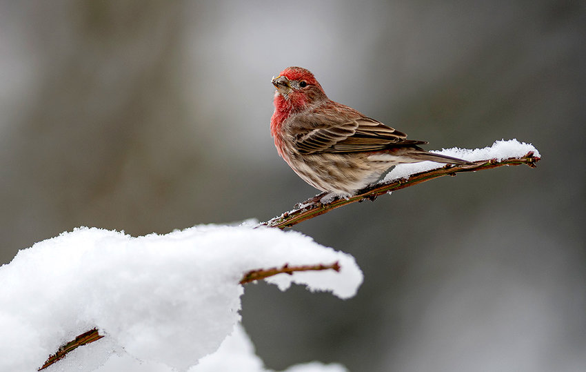 Songbirds, like this male house finch, are the subjects of a new bird banding program at Yellowstone National Park — one of four new and 10 total Monitoring Avian Productivity and Survivorship (MAPS) banding stations in Wyoming.