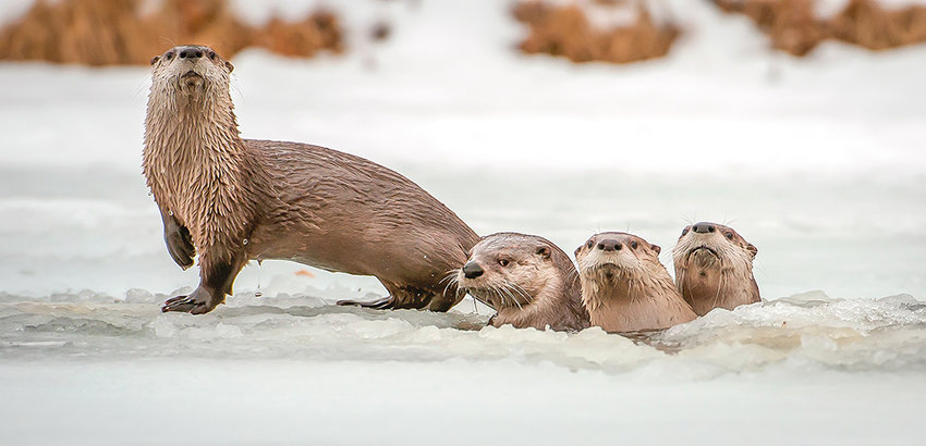 River otters on the North Fork, photographed by Cody High School science teacher Amy Gerber, was one of her three 2018 Wyoming Wildlife photo contest awards.