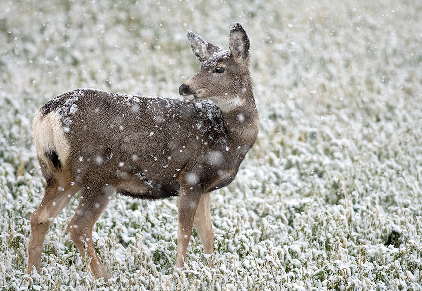 A mule deer doe browses in a North Fork field as the snow falls. State biologists are proposing protections for the species in the form of reduced hunting opportunities to try to rebuild herd populations that have been falling at a concerning rate in popular hunt areas in Park County.