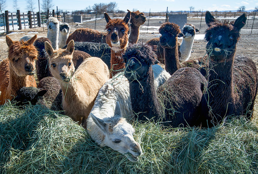 Arrowhead alpacas feed on grass hay at the Sapp farm east of Powell. The animals are easy to raise, produce high quality fiber for clothing and household goods — and they're also harvested for their mild tasting meat.