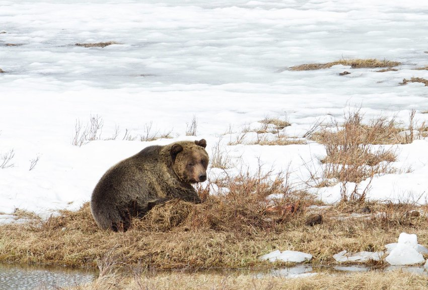 A grizzly bear browses in Yellowstone National Park earlier this month after being one of the first grizzlies spotted to have come out of hibernation. Grizzlies are roaming further south and east from the park, coming into increasing conflicts with humans and livestock.