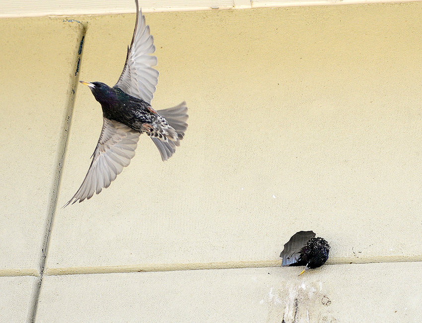A starling flies out of one of the many holes that birds have pecked into the exterior of Simpson Hall, while a dead starling's head hangs from the nest. The college expects to spend roughly $240,000 to repair the damage caused by birds.