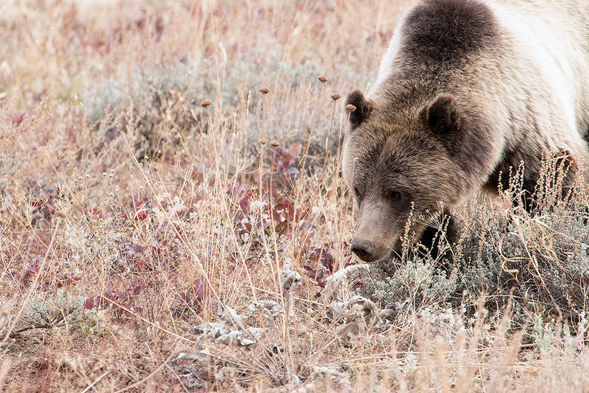 A grizzly bear — one of more than 700 in the Greater Yellowstone Ecosystem — forages for a meal in Grand Teton National Park. The current method of estimating the number of grizzly bears was designed to be conservative. The Wyoming Game and Fish Department is in the process of conducting its own count.