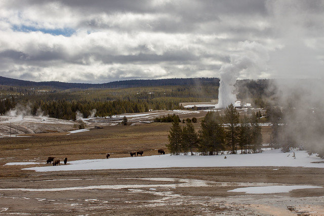 Bison roam the area around Old Faithful Geyser in this 2018 photograph. On Monday, a 9-year-old girl was injured by a bison after a large group of people reportedly got too close to the animal.