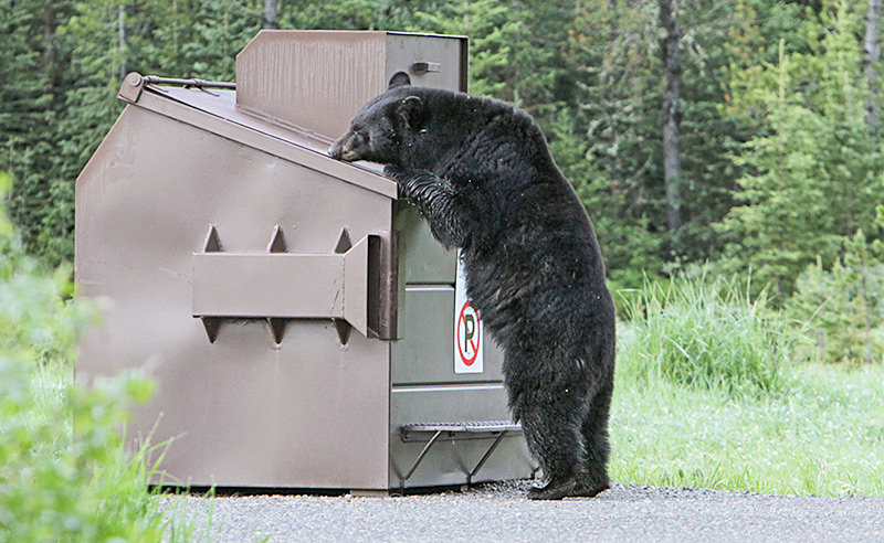 In this 2015 photo, a black bear attempts to get into a bear-proof trash bin near Ice Box Canyon in Yellowstone National Park. Park officials have been busy dealing with conflicts between habituated black bears and people in recent months — including a June incident in which a bear bit a backcountry camper.