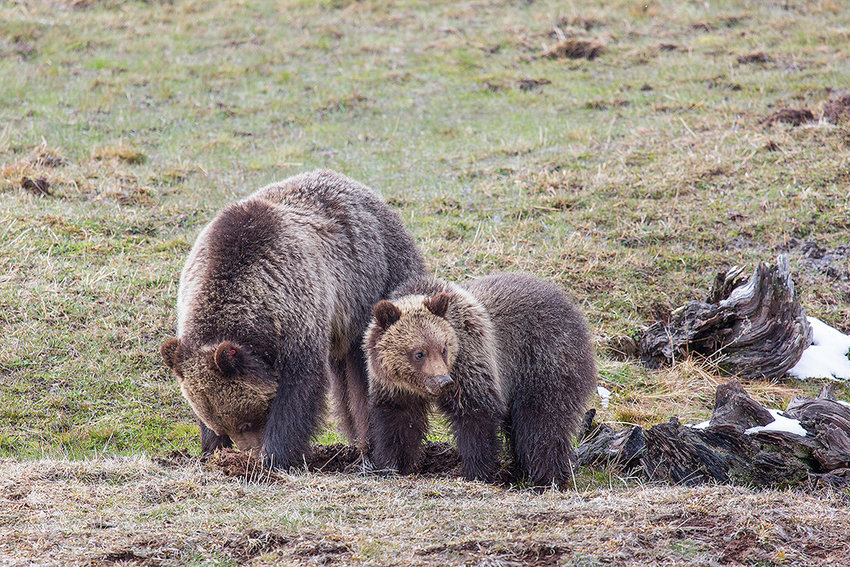 U.S. Sen. John Barrasso hopes a new $100,000 prize will inspire innovators to find new ways to resolve conflicts between predators like grizzly bears and people. Brad Hovinga, a supervisor with the Wyoming Game and Fish Department in Jackson, recently told a Senate panel that 'although Wyoming has a host of other large carnivores, conflicts between humans and black bears, mountain lions and wolves are significantly lower than with grizzly bears.'