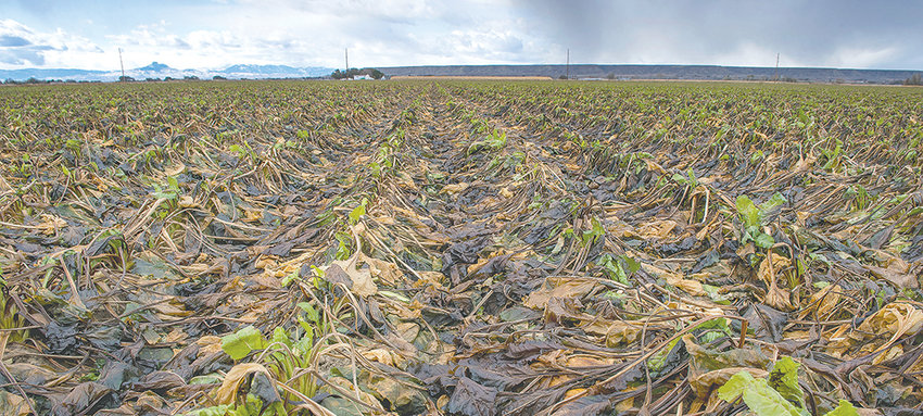 The damage dealt by a recent freeze is evident on this field of sugar beets, located just north of Powell. Farmers are hoping for warmer temperatures in November to get the crop in.