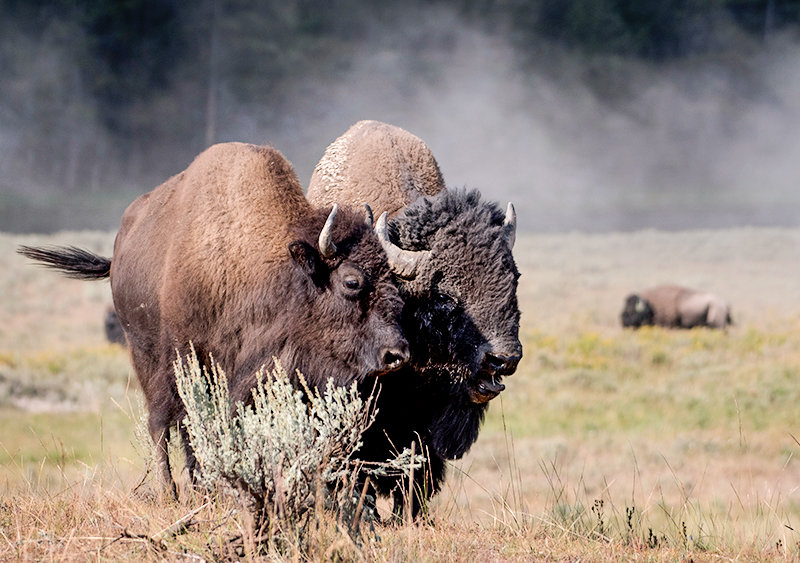 Bison migrate differently from other animals in Yellowstone because of how they graze, frequently returning to the same areas of the park, according to a 10-year study. This bison pair was pictured during the rut in August 2018.