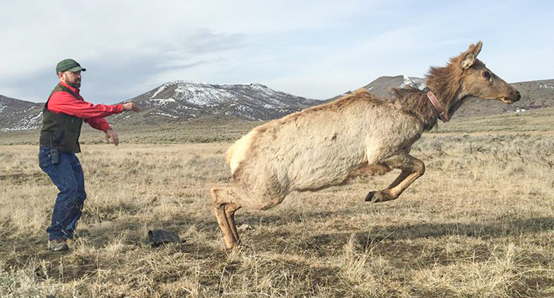 Tony Mong, shown here releasing a collared elk, will discuss ungulate migrations in the Eastern Greater Yellowstone Ecosystem on Thursday, Dec. 5.