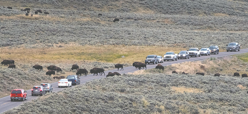 Even when the traffic is light at Yellowstone National Park, patience is required on the park's two-lane roads. Bison often cause road blocks and bears, wolves and other large critters can cause traffic jams of those wishing to catch a glimpse of the park's exciting variety of wildlife.