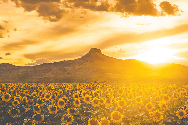 Kinley Bollinger, who lives between Powell and Cody, captured this photograph of sunflowers basking in a golden sunset at Heart Mountain last year. It was recently named honorable mention in the scenic category of Wyoming Wildlife magazine's annual contest.