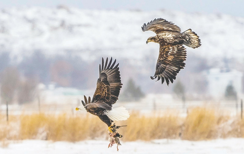 Two bald eagles fight over a mallard duck carcass near Powell. Waterfowl, which commonly suffer from lead poisoning, are favorite meals of the eagle species. The U.S. Geological Survey Field Manual of Wildlife Diseases reports lead poisoning has affected every major species of waterfowl in North America.