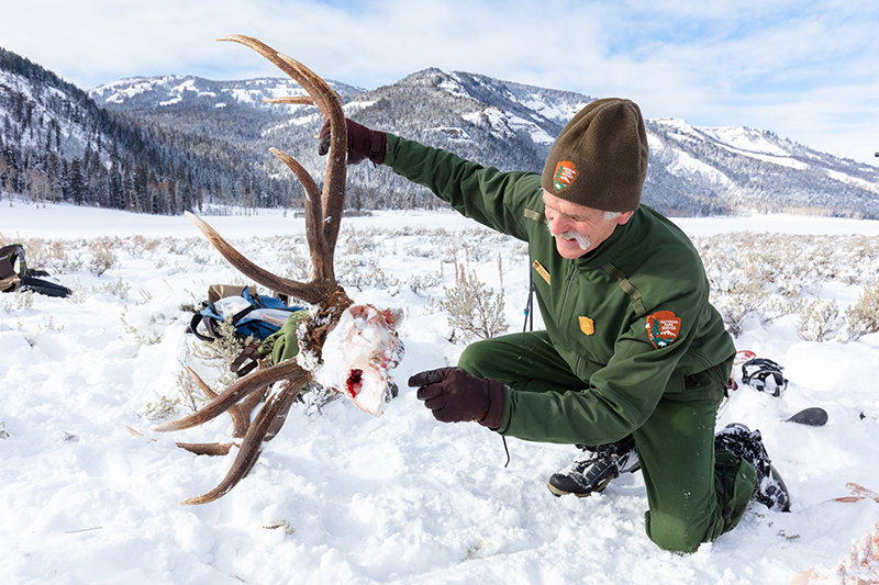 Doug Smith, Yellowstone National Park's senior wildlife biologist, examines the skull of an elk that was killed by wolves in the Lamar Valley. Smith and other park researchers will host a series of talks on Facebook Live and in Lovell this month.