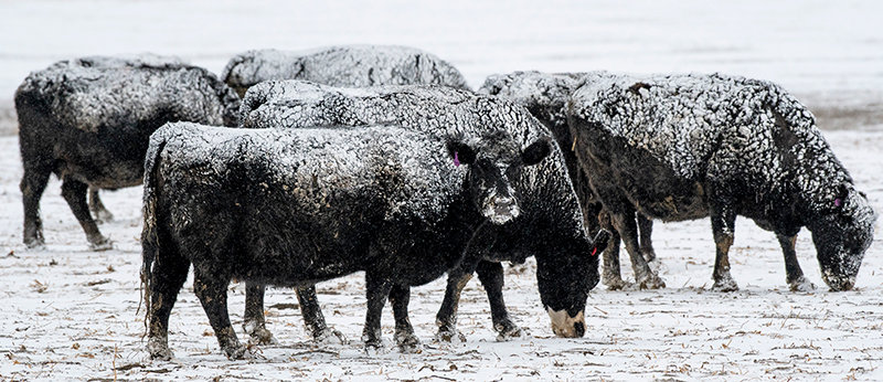 Snow-covered cattle graze in a field near Powell last month. Numerous American ranchers and farmers believe beef and pork sold in the U.S. should have mandatory country of origin labeling.