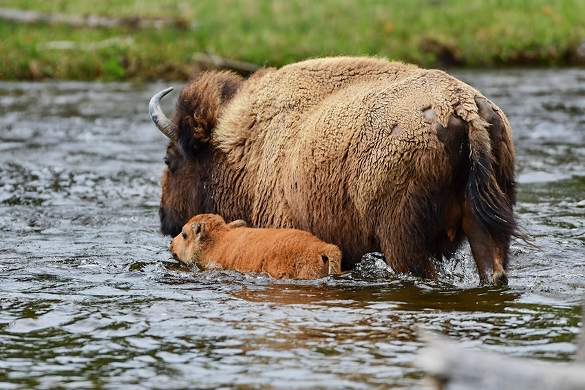 A baby bison sticks close to its mother while fording a small stream in Yellowstone National Park last month. 'I saw the adults keep the babies between them in most cases or, if it was a single mom crossing with her baby, she used her body to keep her baby against her during the crossing,' said photographer Richard Brady. He encourages park visitors to slow down and enjoy the experience.