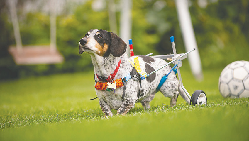 Top, thanks to the help of a doggie wheelchair, or cart, Banjo, a 10-year-old dachshund owned by Wilma and Rick Slater, can continue to patrol his yard for squirrels and birds after a life-threatening injury.