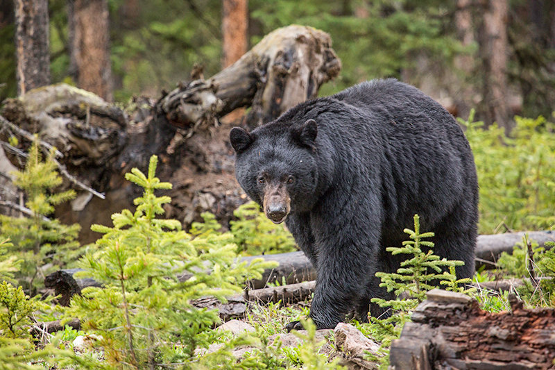 A black bear in Yellowstone National Park was killed earlier this month after walking into a backcountry campsite and biting one of five campers. The bear then got into the group's food. This photo was taken in 2015 in Yellowstone, and it is not the bear involved in the incident.