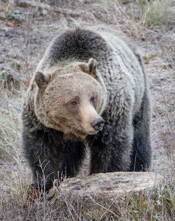 A grizzly bear attacked a hiker in the Shoshone National Forest outside of Cody on Tuesday afternoon. The hiker sustained injuries to his chest and arm, according to a news release from the Wyoming Game and Fish Department. This bear was photographed in 2018 and is not the grizzly involved in the incident.
