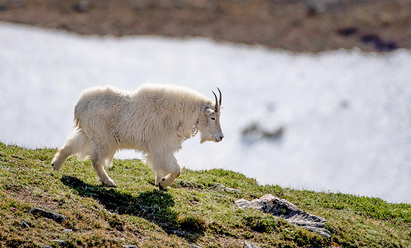 Volunteers will be shooting nonnative mountain goats in Grand Teton National Park this fall. 'Without swift and active management, the nonnative mountain goat population is expected to continue to grow and expand its distribution within the park,' the Park Service said.