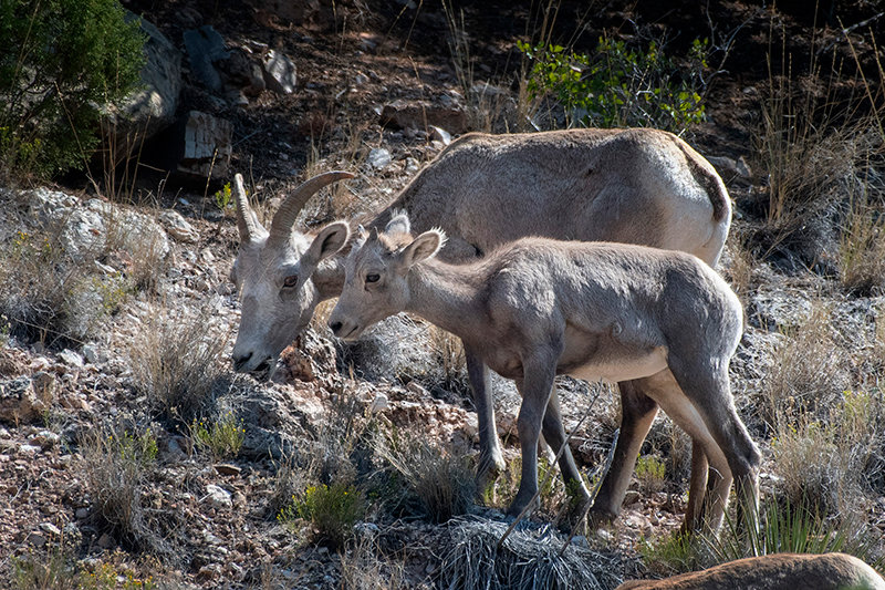 A pair of bighorn sheep graze in the Bighorn Canyon National Recreation Area in August. The National Park Service property is currently gearing up for the winter season.
