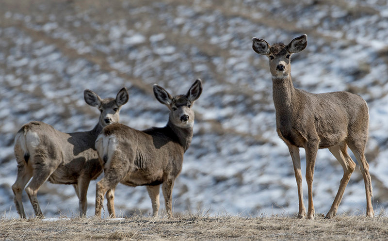 Mule deer does browse for an afternoon meal north of Heart Mountain.