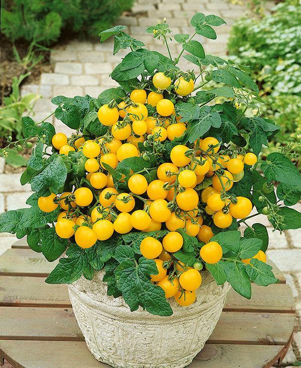 To get a good crop of long season vegetables like tomatoes in Wyoming's short growing season, consider starting seeds indoors.