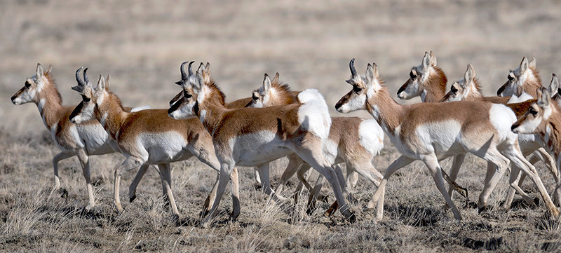 Pronghorn following a traditional migration route between Cody and Meeteetse move together in a herd in January. Research into migration routes and the state's priority habitats are now easily accessible online at the Wyoming Game and Fish Department's Statewide Habitat Plan map project.