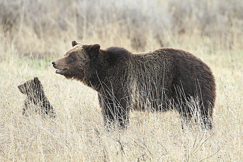 A grizzly sow was spotted last year near the Fishing Bridge with her cub. The success of the Bear Wise program — the department's large carnivore educational outreach program — has helped keep both bears and people safe, according to state officials.