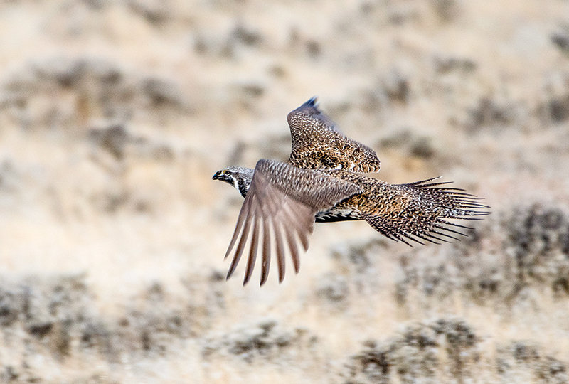 A sage grouse takes off in the sagebrush steppe near Powell after being flushed by scientists researching nesting habits. The Bighorn Basin Sage Grouse Working Group is meeting in Cody next week.