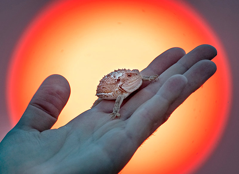 A greater short-horned lizard, commonly called a horny toad, is held by Andy Grass, an assistant professor for the New York Institute of Technology in Phoenix. The lizard was among the wildlife caught near the Natural Trap Cave over the past two weeks. Scientists are looking to gauge the long-term effects of a changing climate.