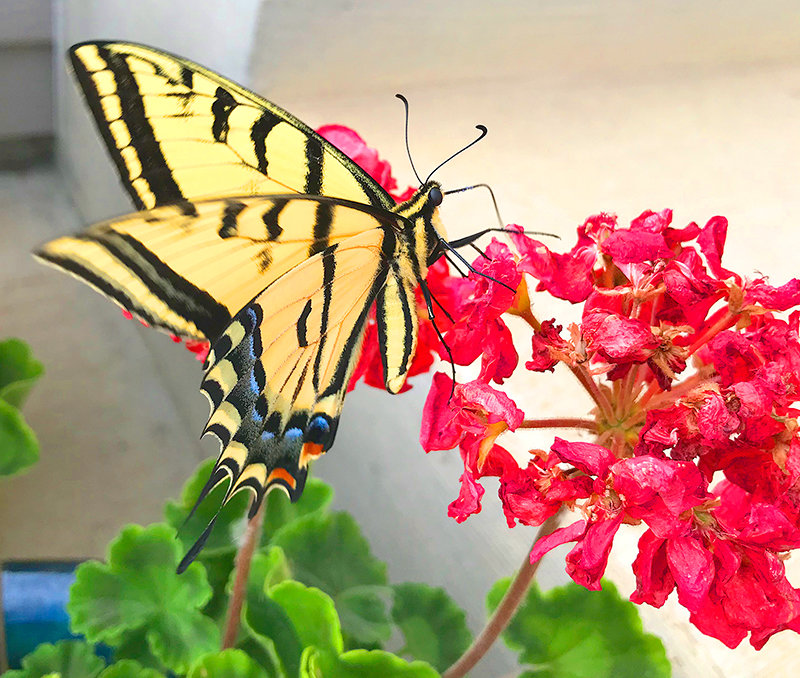 A tiger swallowtail butterfly visits flowers in a local garden. Now is the time to head out to your garden and tackle goals to make certain plants will remain healthy and transition to fall gardening.