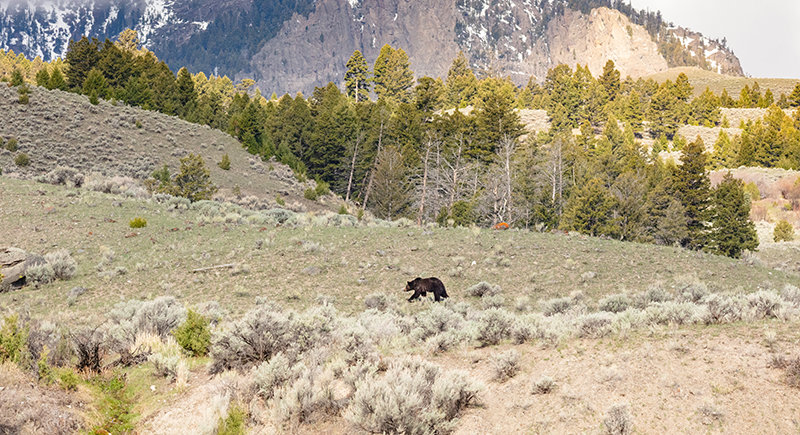 A grizzly bear roams the area above the Gardner River in Yellowstone National Park in May. Data indicates that there have been more bear deaths in the Greater Yellowstone Ecosystem this year, including a jump in the number of bears euthanized by wildlife managers following conflicts.
