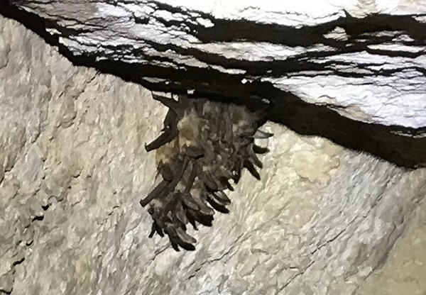 The discovery of a maternity roost of Townsend's bats led to the temporary closure of the Tongue River Cave in 2019, but it has since reopened.