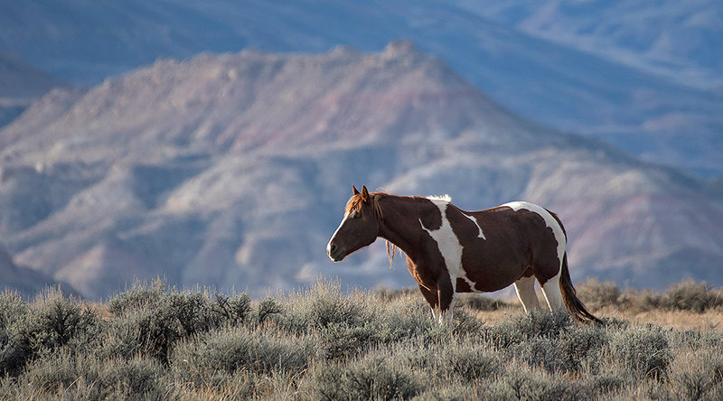 A wild horse browses the sage brush steppe of the McCullough Peaks Horse Management Area. Beginning in 2005, the nonprofit organization Friends of a Legacy has partnered with the Bureau of Land Management to help preserve the herd and its habitat.