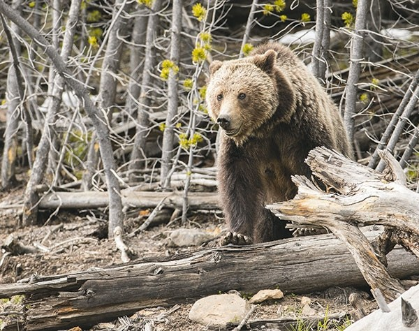 A grizzly bear is pictured near Frying Pan Spring in Yellowstone National Park last year. For the first time in more than 40 years, the iconic species will be hunted in Wyoming in areas outside of Yellowstone and Grand Teton national parks. Some worry that opponents of the hunt will flood the application process.