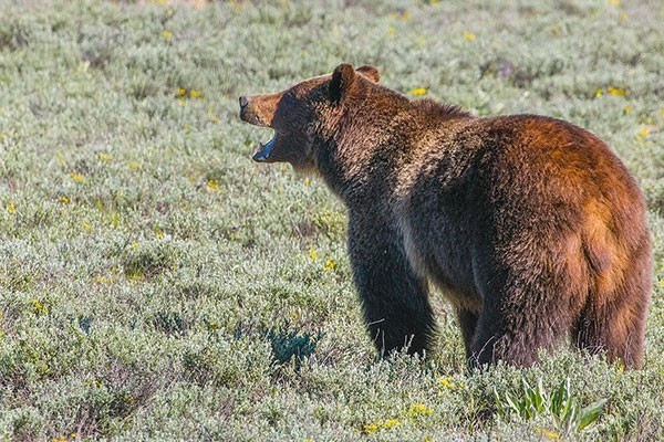 A grizzly bear is pictured in Grand Teton in 2016. The Wyoming Game and Fish Department is planning to offer a hunting season for grizzlies in areas outside of Yellowstone and Teton national parks, with a limit of 24 bears.