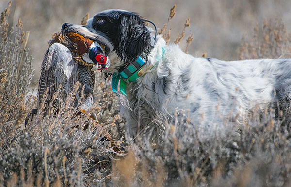 Junior, an English Setter owned by Pheasants Forever member Pat Shellady, retrieves a pheasant after it was harvested by a young hunter during the Bob Messier Youth Hunt at Monster Lake Saturday.