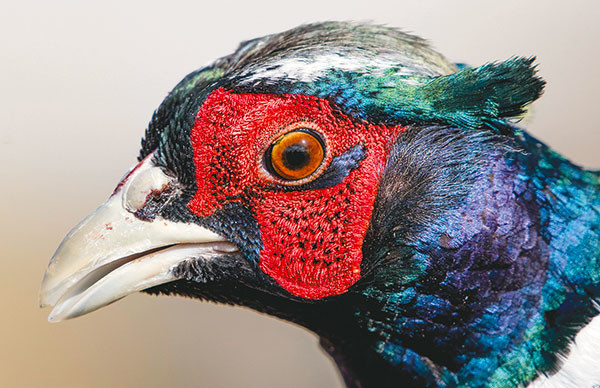 A mature rooster ring-necked pheasant shows off breeding season colors.