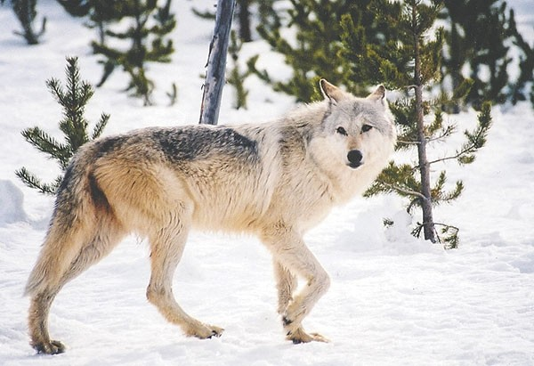 Hunters have taken 41 gray wolves in northwest Wyoming; the quota for hunt areas in the Cody region was filled on Sunday.