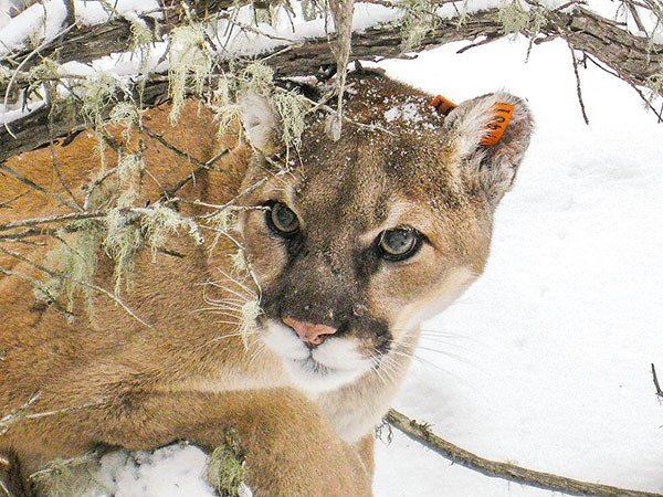 After decades of management based on science, there's a resurgence of large carnivores like mountain lions, said Dan Thompson, Wyoming Game and Fish Department large carnivore section supervisor.
