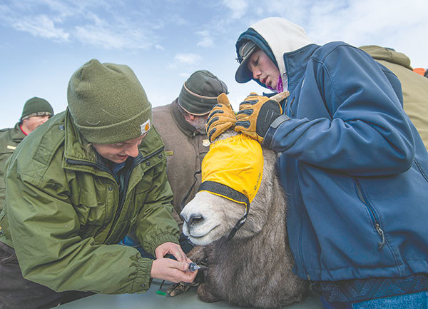 Kylie Sinclair, a wildlife disease lab technician based out of Laramie, draws blood from a bighorn sheep while Powell High School student Matt Jones steadies the ewe. Jones helped with the relocation efforts while on an environmental sciences class field trip.