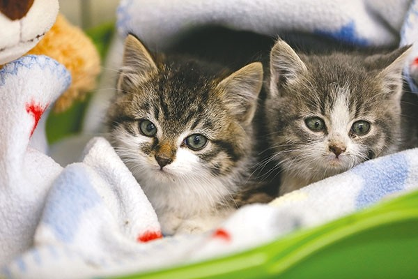 Two kittens — found and saved by Douglas and Anna Kawano on Sunday — are now at the City of Powell/Moyer Animal Shelter. The kittens were abandoned by their mother in an underground cement hole. The shelter now has nine kittens and 20 adult cats, all in need of good homes.