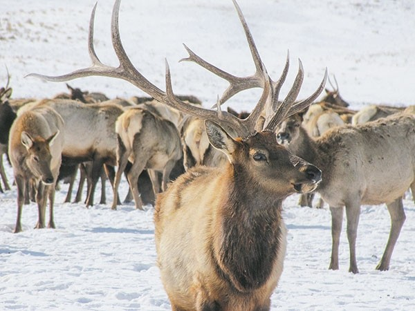 A mature bull elk is the preferred target of most nonresident elk hunters coming to Wyoming. The Wyoming Game and Fish Department is planning public scoping meetings for a proposed change to the way the state allocates tags.