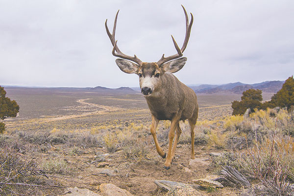 Mule deer buck migrate south for the winter in this photographed captured by Joe Riis. He's spent years in the field capturing images of migrating animals around Yellowstone National Park.