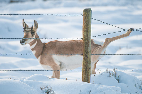 With barbed bottom wire a few inches off the ground, this fence forced a doe pronghorn to jump; the animal got its wrist tangled in the top two wires – a common way for pronghorn to die. Luckily, the photographer was there to pull the fence apart and free her.