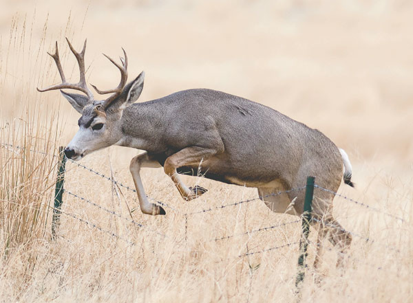 A buck mule deer crosses a fence from a private ranch to BLM land near Meeteetse Tuesday morning.