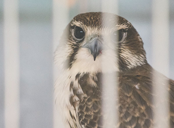 A prairie falcon recoups behind bars in the main office at Ironside Bird Rescue.