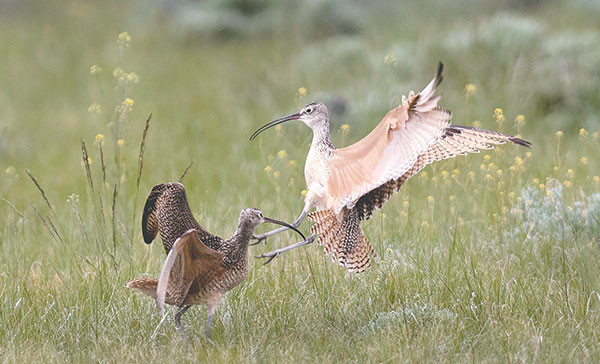 Two male long-billed curlews fight for territory during breeding season at The Nature Conservancy's Heart Mountain Ranch Preserve Friday.