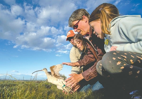 Katherine Thompson, her husband Tommy and their two daughters, Lucy, 10, and Sydney, 5, release a male long-billed curlew after it was captured, fitted with a solar-powered satellite transmitter and checked for health for a research project on the species by Jay Carlisle, research director of the Intermountain Bird Observatory at Boise State University. The long-billed curlew will be tracked by the research team at BSU, following it from its breeding grounds near Heart Mountain in Park County to its wintering grounds in central Mexico.