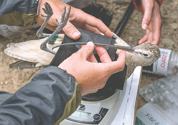 Carlisle and team leader Stephanie Coates run tests on a female curlew — including weight, size, blood tests and bill length — before fitting it with a satellite transmitter.